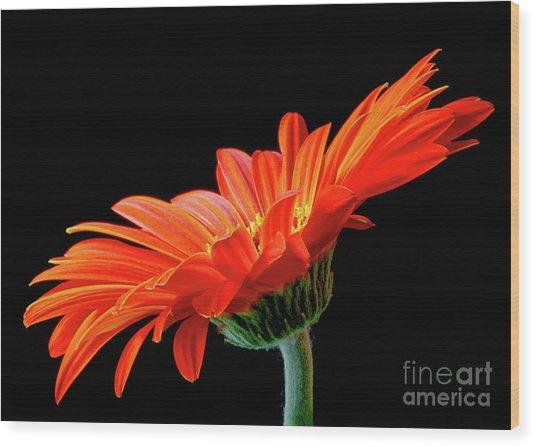 Orange Gerbera On Black Wood Print