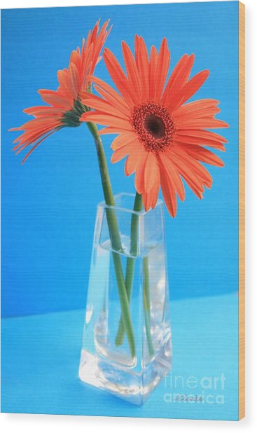 Orange Gerberas In A Vase - Aqua Background Wood Print