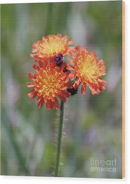 Orange Hawkweed Wood Print
