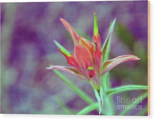 Orange Paintbrush Flower Wood Print