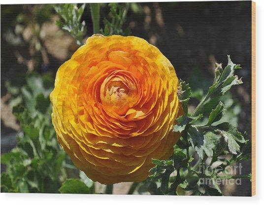 Orange Ranunculus Wood Print