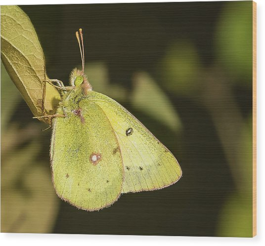 Orange Sulfur Butterfly On A Leaf Wood Print