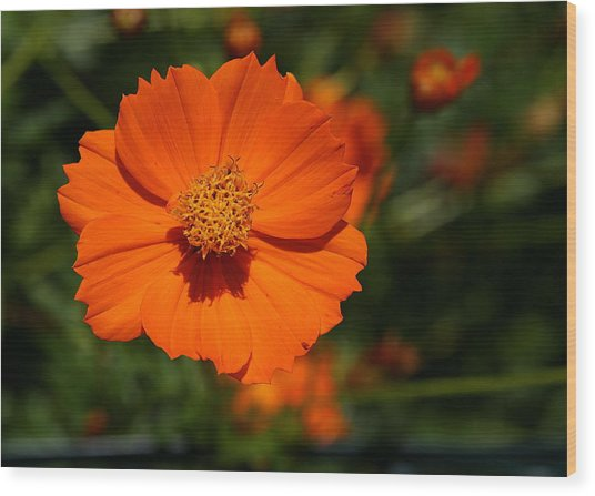 Orange Sulfur Cosmos Flower Wood Print