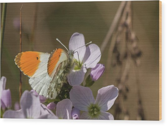 Orange Tip On Lady's Mantle Wood Print