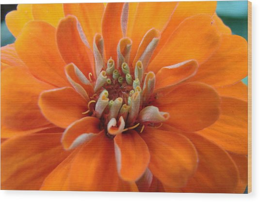 Orange Zinna Wood Print