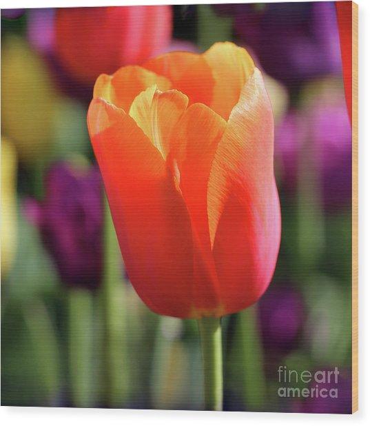 Orange Tulip Square Wood Print
