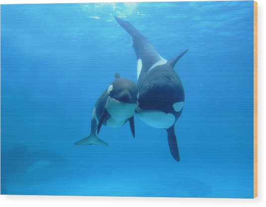 Orca Orcinus Orca Mother And Newborn Wood Print