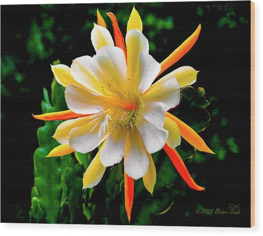 Orchid Cactus Epiphyllum Wood Print