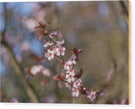 Purple Leaf Sandcherry Blossoms Wood Print