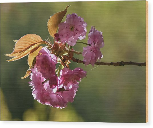 Ornamental Cherry Blossoms - Wood Print