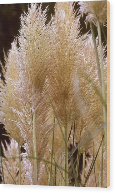Ornamental Grass Wood Print by Chris Brewington Photography LLC