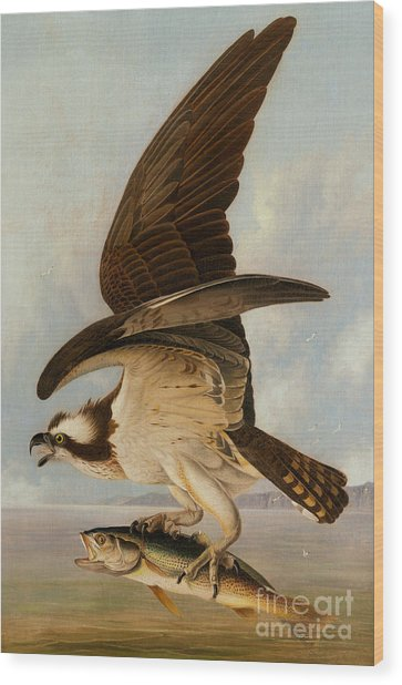 Osprey And Weakfish Wood Print