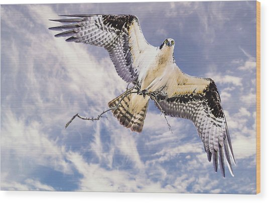 Osprey Building Nest Wood Print