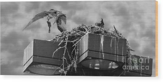 Osprey Carrying Fish To Nest Wood Print