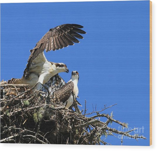 Osprey Chicks Ready To Fledge Wood Print