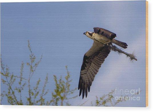 Osprey Collecting Sticks Wood Print