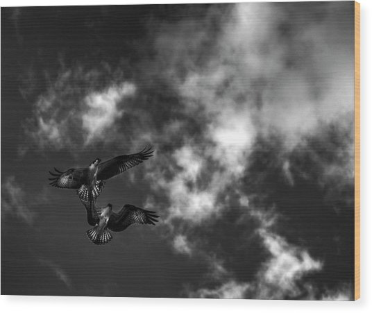 Osprey Dog Fight In Black And White Wood Print