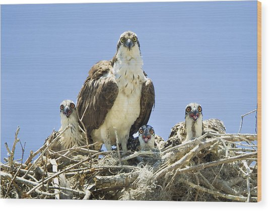 Osprey Family Portrait Wood Print