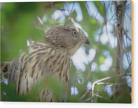 Red-shouldered Hawk Fledgling 1 Wood Print