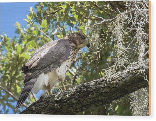 Red-shouldered Hawk Fledgling - 4 Wood Print