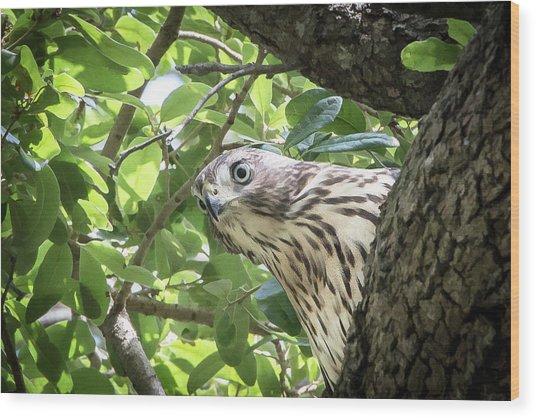 Red-shouldered Hawk Fledgling - 5 Wood Print