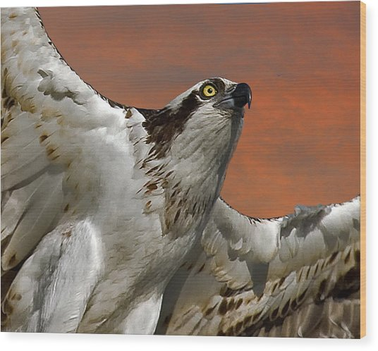 Osprey Flight Wood Print