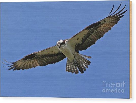Osprey Glide Wood Print