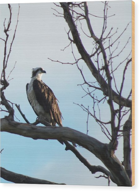 Osprey In Tree Wood Print