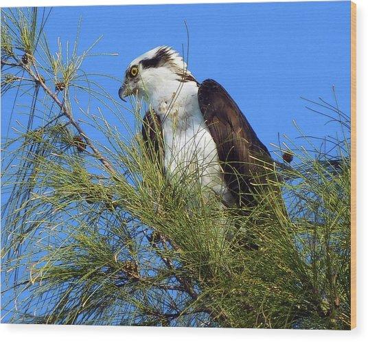 Osprey In Tree Wood Print