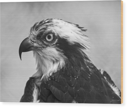 Osprey Monochrome Portrait Wood Print