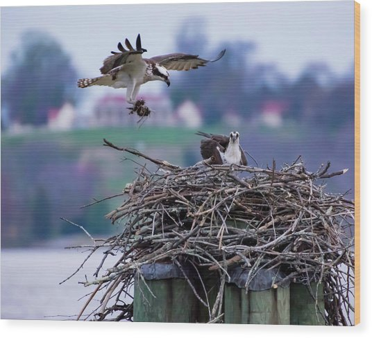 Osprey Nest Building Wood Print
