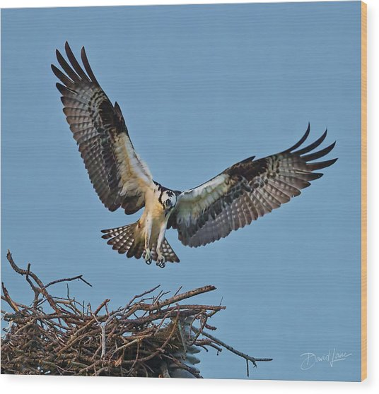 Wood Print featuring the photograph Osprey Nest Landing by David A Lane