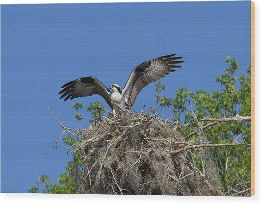 Osprey On Nest Wings Held High Wood Print