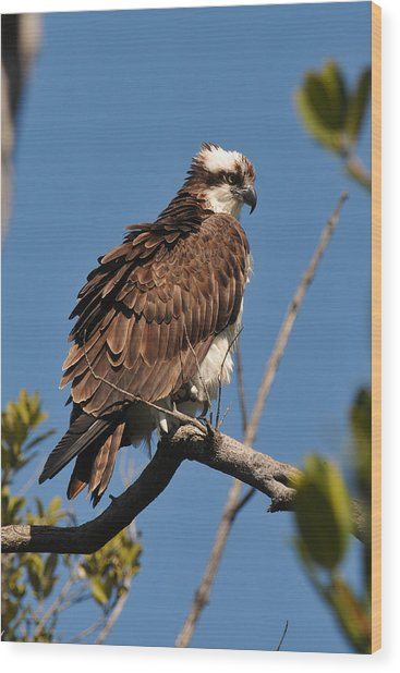 Osprey On Perch Wood Print