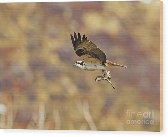 Osprey On The Wing With Fish Wood Print by Dennis Hammer