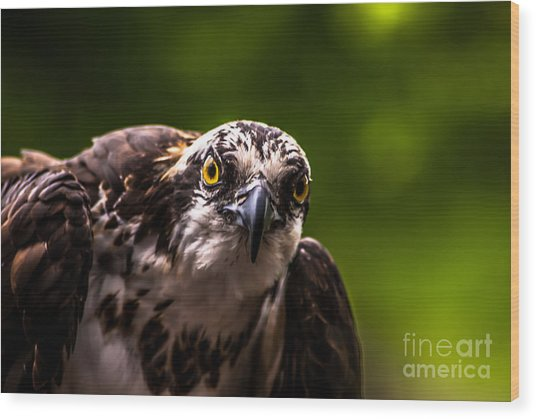Osprey Profile 2 Wood Print