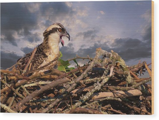 Osprey Talk Wood Print