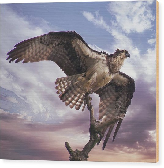 Osprey Wing Wood Print