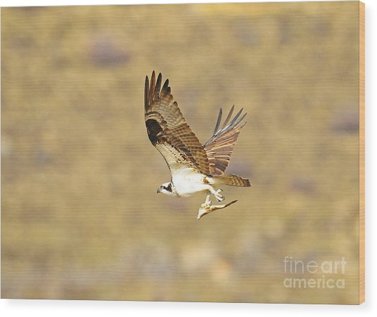 Osprey With Fish Wood Print by Dennis Hammer