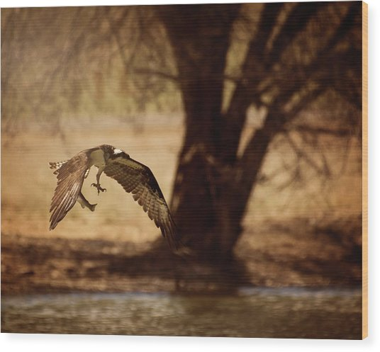 Osprey With Lunch Wood Print