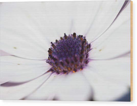 Osteospermum White Flower Blue Center Photograph By Mike Fusaro