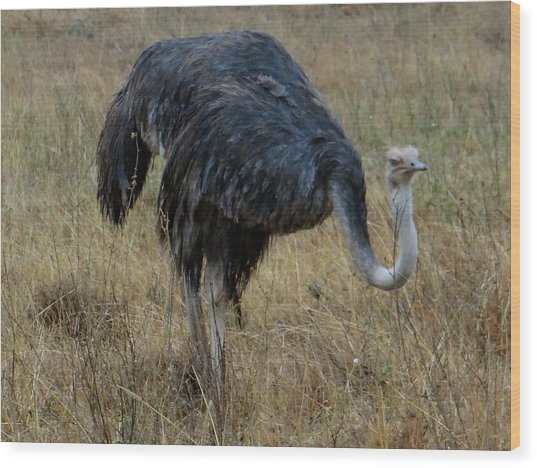 Ostrich In The Grass 1 Wood Print