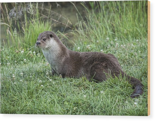 Otter By The Water Wood Print by Philip Pound