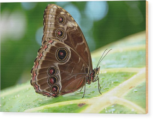 Owl Butterfly Wood Print