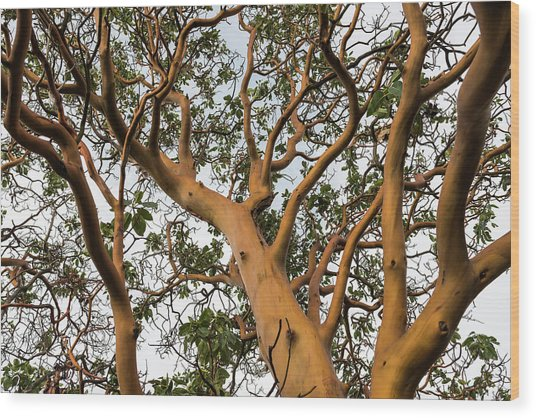 Pacific Madrone Trees Wood Print