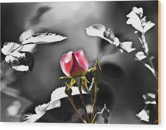 Painted Rosebud Wood Print by Michael Whitaker