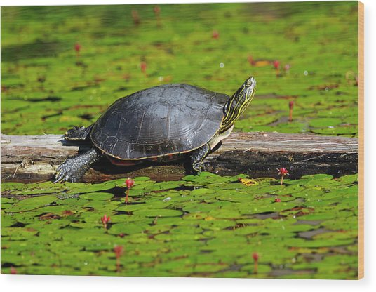 Painted Turtle On Log With Lily Pads Wood Print