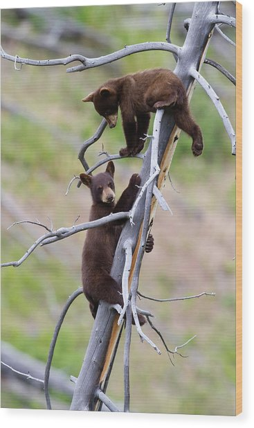 Pair Of Bear Cubs In A Tree Wood Print