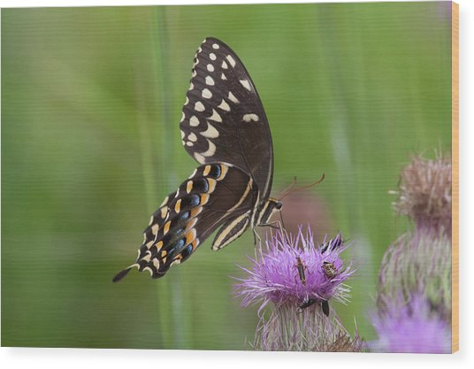 Palamedes Swallowtail And Friends Wood Print