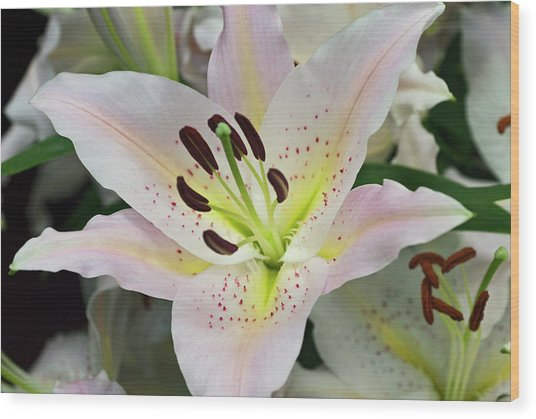 Pale Pink Lily Wood Print